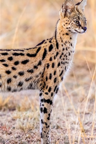 iPhone Wallpaper Animal serval, wildlife