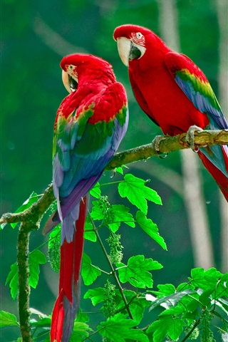 iPhone Wallpaper Beautiful parrot, colorful feathers, nature, green leaves