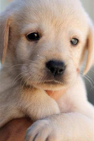 iPhone Wallpaper Cute puppy, dog, pet, face, hand