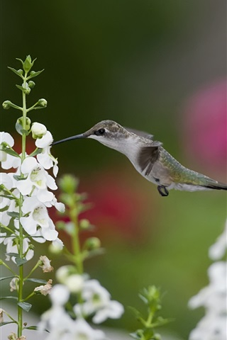 iPhone Wallpaper Hummingbirds close-up, birds, white flowers