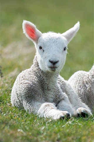 iPhone Wallpaper White sheep, lambs, grass