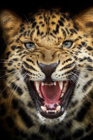 iPhone Wallpaper Leopard snarl close-up