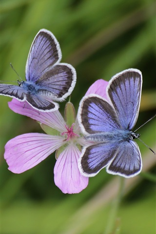 iPhone Wallpaper Pink flowers, blue butterfly, bokeh, grass