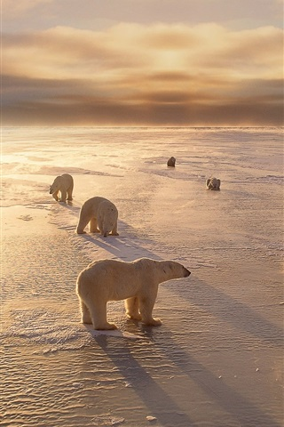 iPhone Wallpaper Polar bears, cold, winter, snow, sunset
