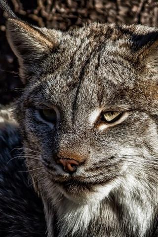 iPhone Wallpaper A predator, lynx, cat