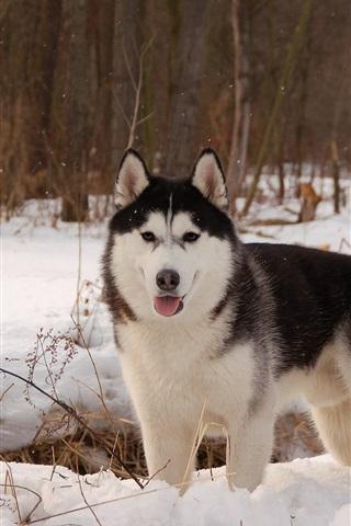 iPhone Wallpaper Husky dog, winter, snow