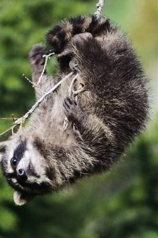 iPhone Wallpaper Playful raccoon