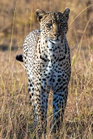 iPhone Wallpaper Predator, leopard, african savanna, big cat