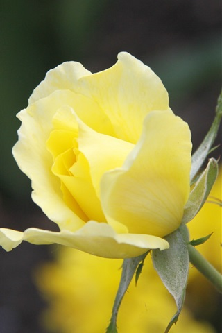 iPhoneの壁紙 黄色はクローズアップ花バラ