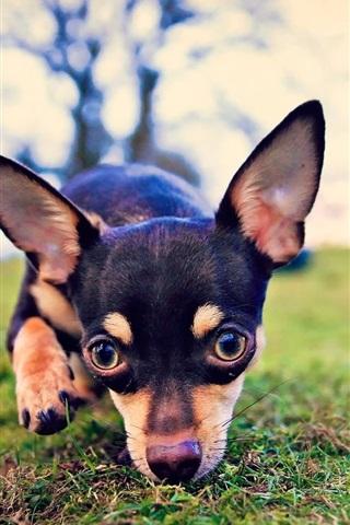 iPhone Wallpaper Black dog, look, ears, grass