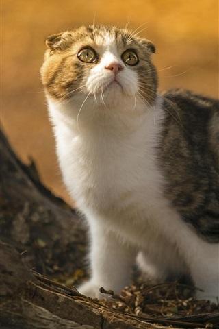 iPhone Wallpaper Cute scottish fold cat, look, stump, sunlight