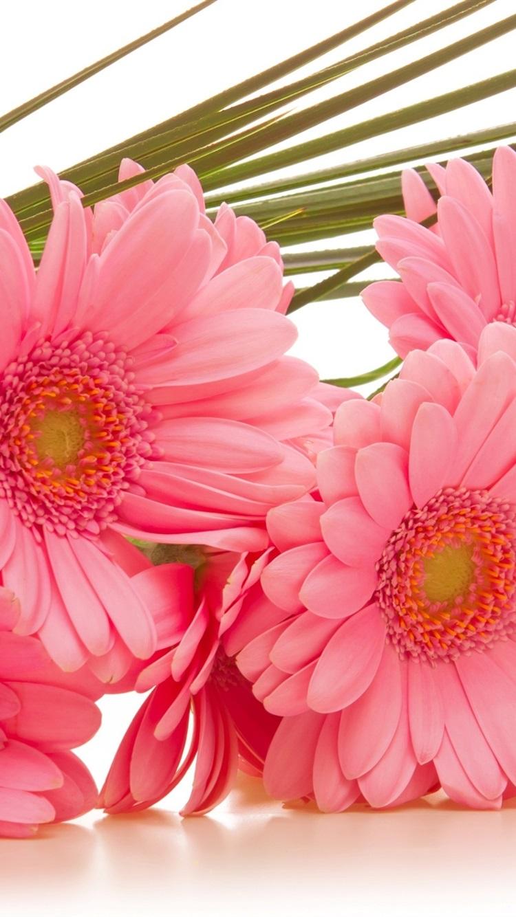 ガーベラピンクの花 750x1334 Iphone 8 7 6 6s 壁紙 背景 画像