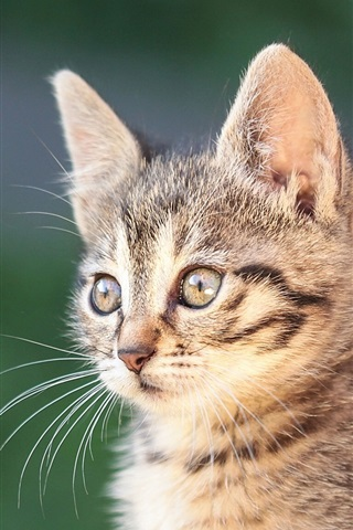 iPhone Wallpaper Kitten, portrait, bokeh