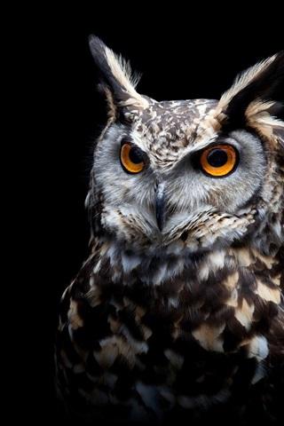 iPhone Wallpaper Owl, black background