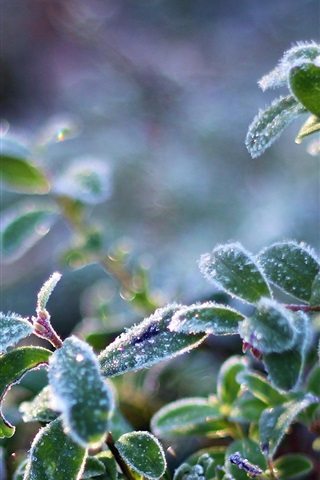 iPhone Wallpaper Plant leaves, frost, cold, crystals
