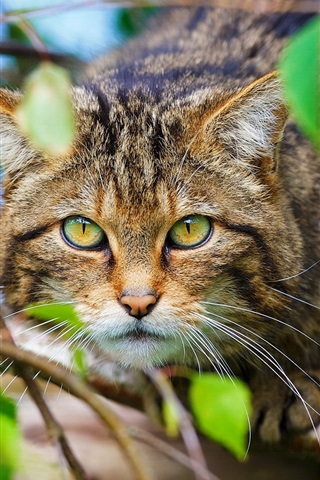 iPhone Wallpaper Scottish wild cat, forest