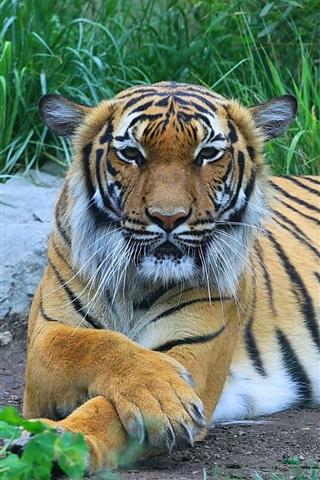iPhone Wallpaper Tiger, predator, grass