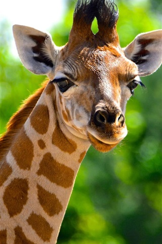 iPhone Wallpaper Animals close-up, giraffe