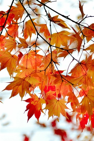 iPhone Wallpaper Autumn, branches, red maple leaves