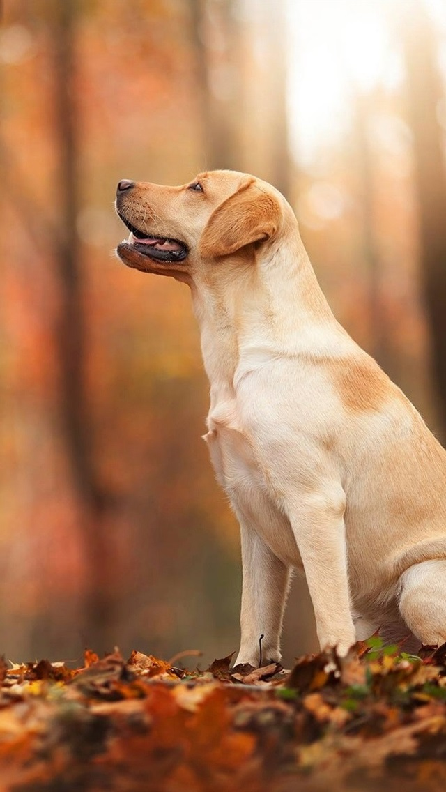 Outono, floresta, folha, cão 640x1136 iPhone 5 5S 5C SE Papéis de Parede b043c3d492