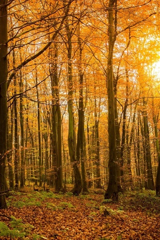 iPhone Wallpaper Autumn, forest, nature, trees, branches, sunlight