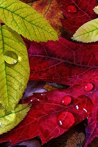 iPhone Wallpaper Autumn, green yellow leaves, water drops