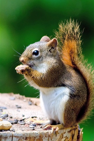 iPhone Wallpaper Cute squirrel, stump, eating something