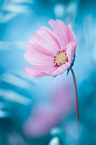iPhone Wallpaper Pink flower, blue background, bokeh