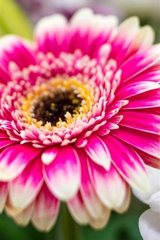 iPhone Wallpaper Pink white flowers, chrysanthemum, petals, macro