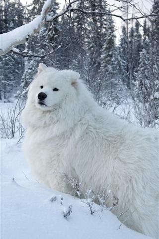 iPhone Wallpaper White samoyed dog, snow, trees