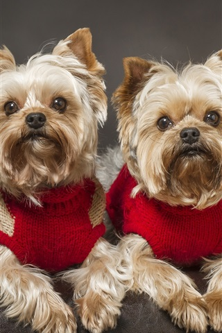 iPhone Wallpaper Yorkshire Terrier, dog, twins