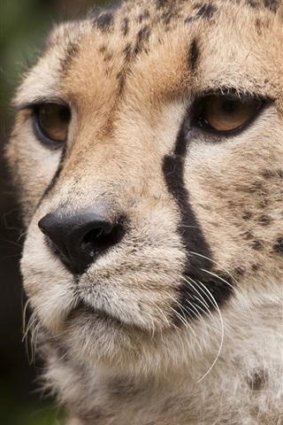 iPhone Wallpaper Cheetah, whiskers, eyes, face