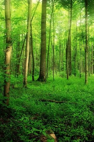 iPhone Wallpaper Forest, summer, trees, green, sunlight