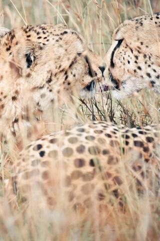 iPhone Wallpaper Leopards close-up, nature, hidden, grass