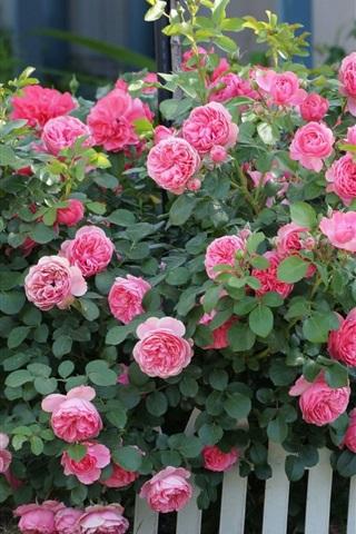 iPhone Wallpaper Pink flowers, roses, shrub, grass