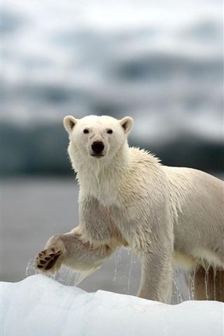 iPhone Wallpaper Polar bears, Arctic, snow