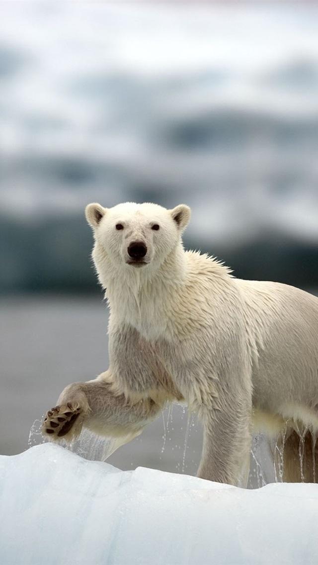 Фотографии белых медведей на смартфон