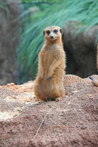 iPhone Wallpaper Standing, meerkats, family