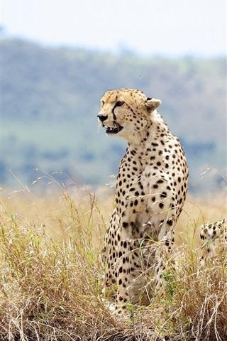 iPhone Wallpaper Wild cats, cheetahs, couple, grass