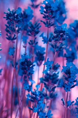 iPhone Wallpaper Blue lavender flowers, purple bokeh