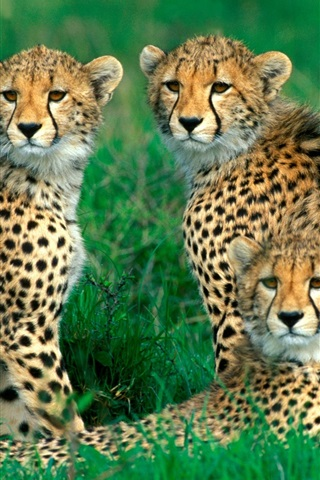 iPhone Wallpaper Cheetahs, family, grass, bokeh