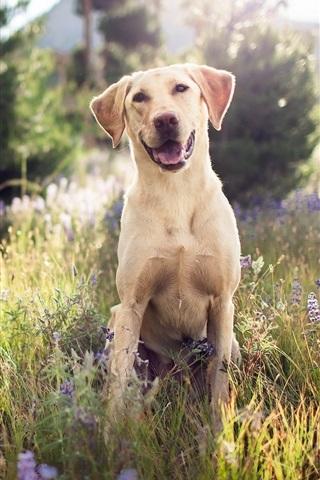 iPhone Wallpaper Cute dog, look, grass, summer