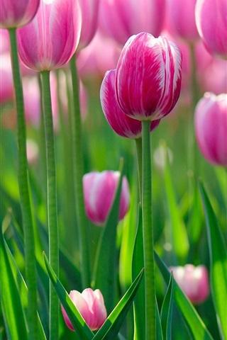 iPhone Wallpaper Pink tulip flowers, morning