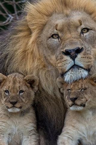 Lion With Lion Cubs 640x1136 Iphone 5 5s 5c Se Wallpaper Background