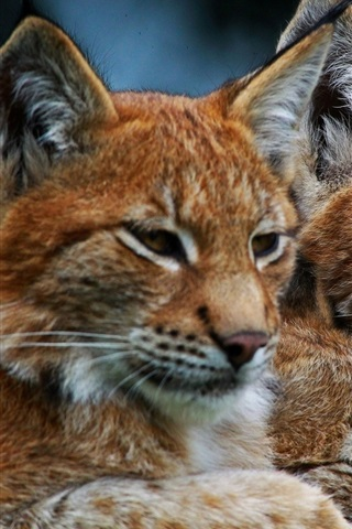 iPhone Wallpaper Lynx, wild cat, family