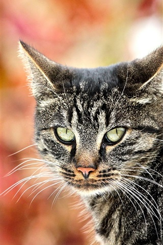 iPhone Wallpaper Gray striped cat, look back