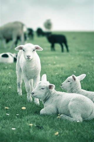 iPhone Wallpaper Lambs, white sheep, green fields
