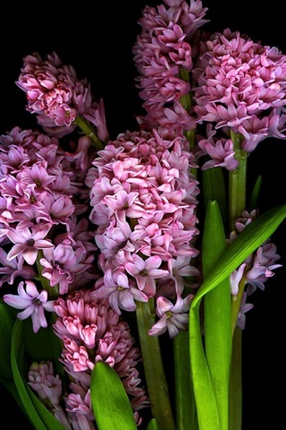iPhone Wallpaper Pink flowers, petals, stem