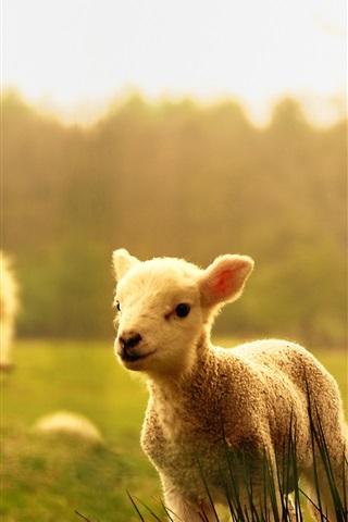 iPhone Wallpaper Sheep, lambs, wood