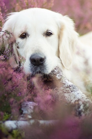 iPhone Wallpaper White dog, hidden